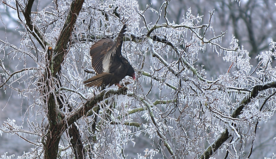 A Vulture Lands on a limb in a frozen forest. Vultures have an evil look about them, leading to the title of this one. The overall scene was quite beautiful, however and my shutter clattered for hours.