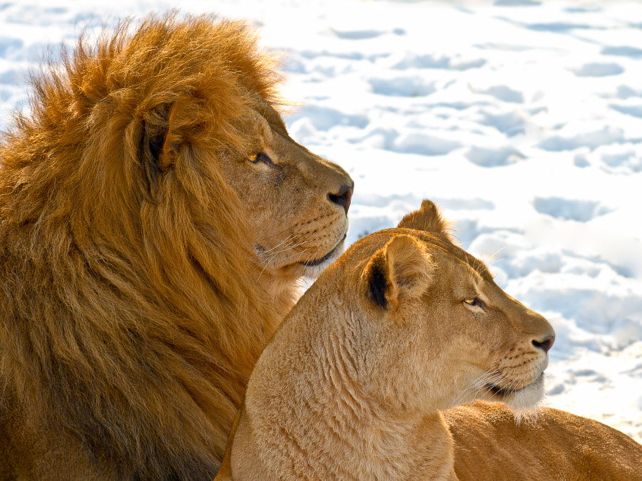 Lion couple in the snow by Gert Lavsen on 500px.com