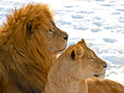 Lion couple in the snow