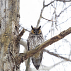 ������, ������: Long Eared Owl