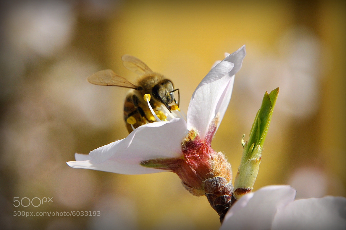 Photograph bee by Volkan Ülker on 500px
