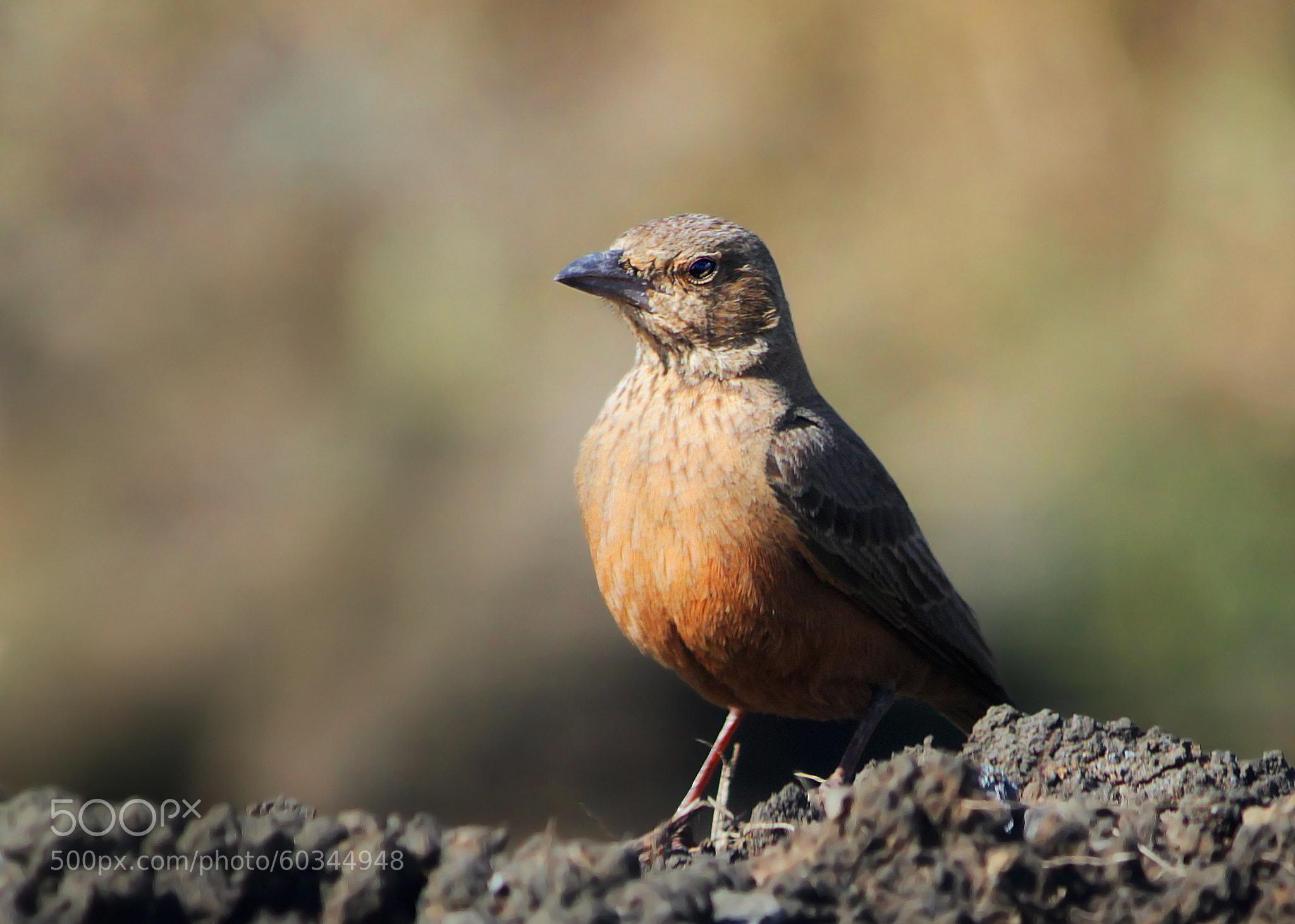 Photograph Brown bird by Subhash Masih on 500px