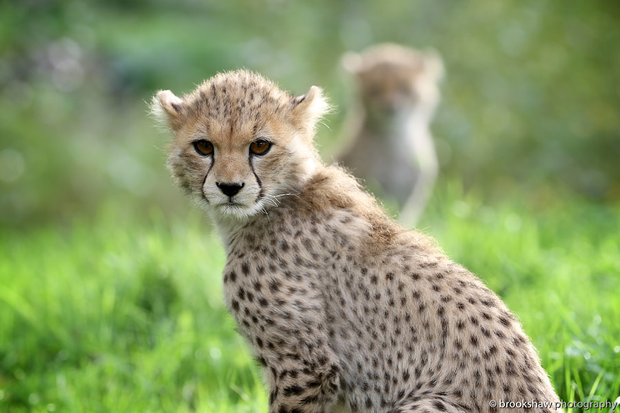 Cheetah Cubs by Gary Brookshaw on 500px.com