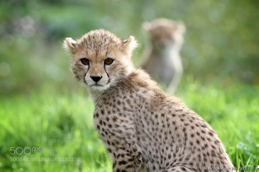 Photograph Cheetah Cubs by Gary Brookshaw on 500px
