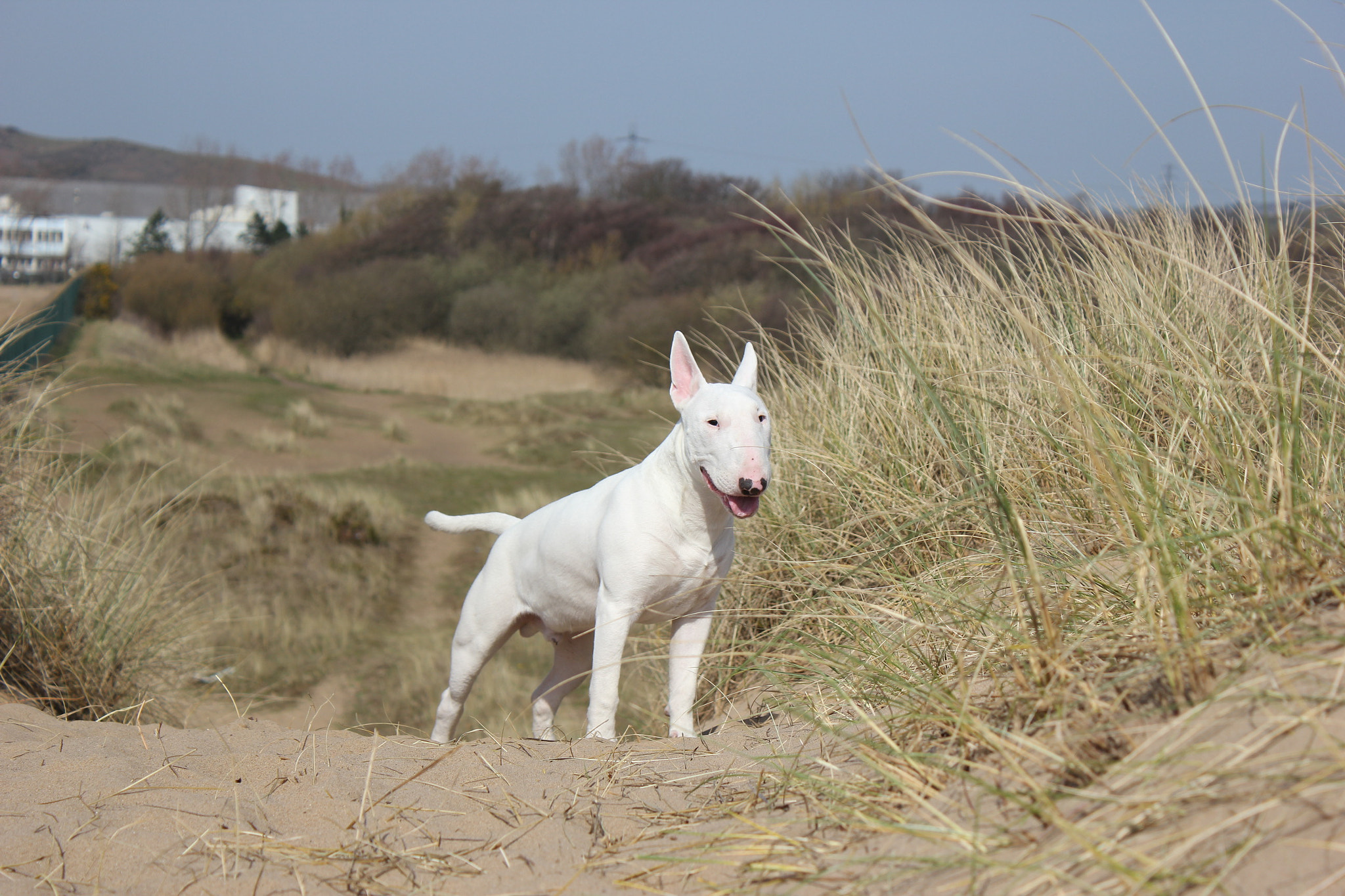 Photograph English Bull Terrier Stance .. by Maria Lewis on 500px