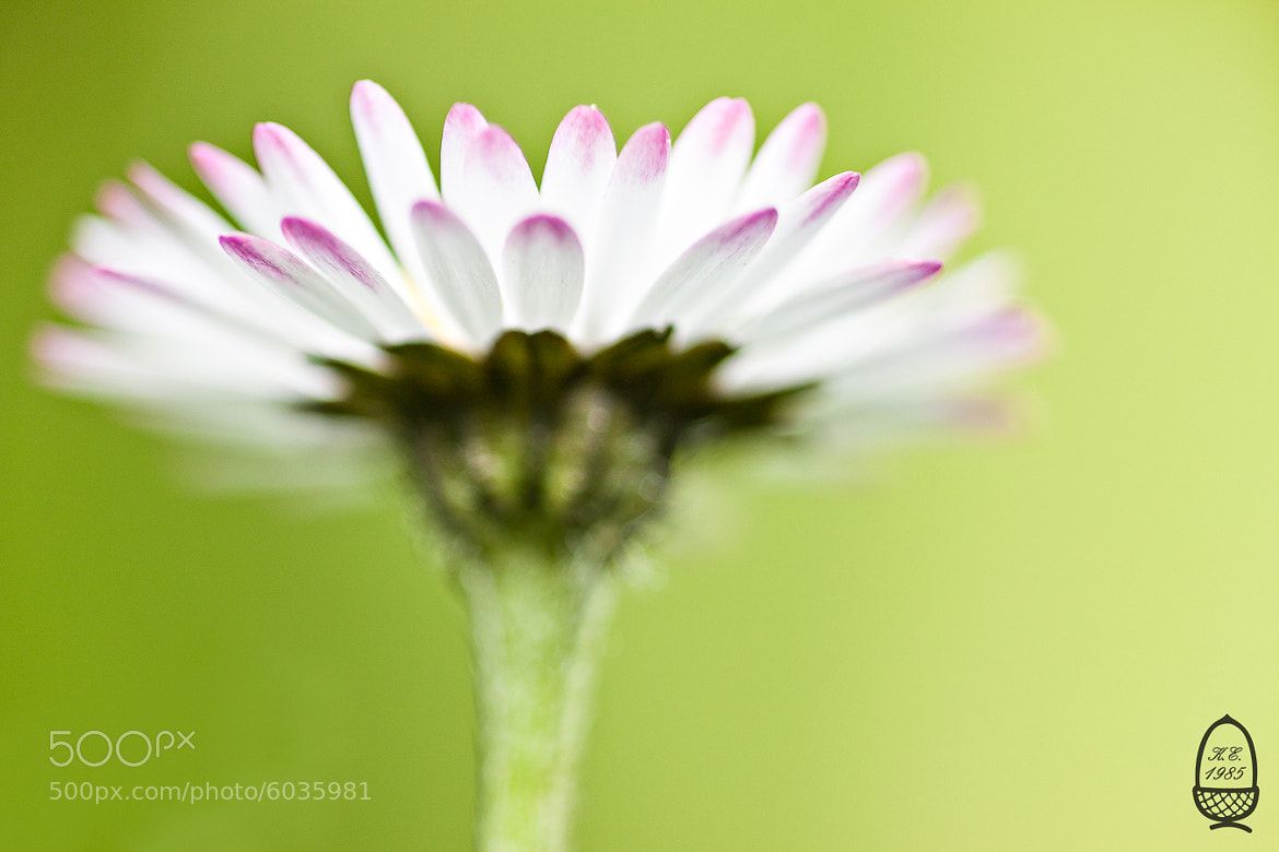 Photograph White daisy pasing...  by Katrin Eichleitner on 500px
