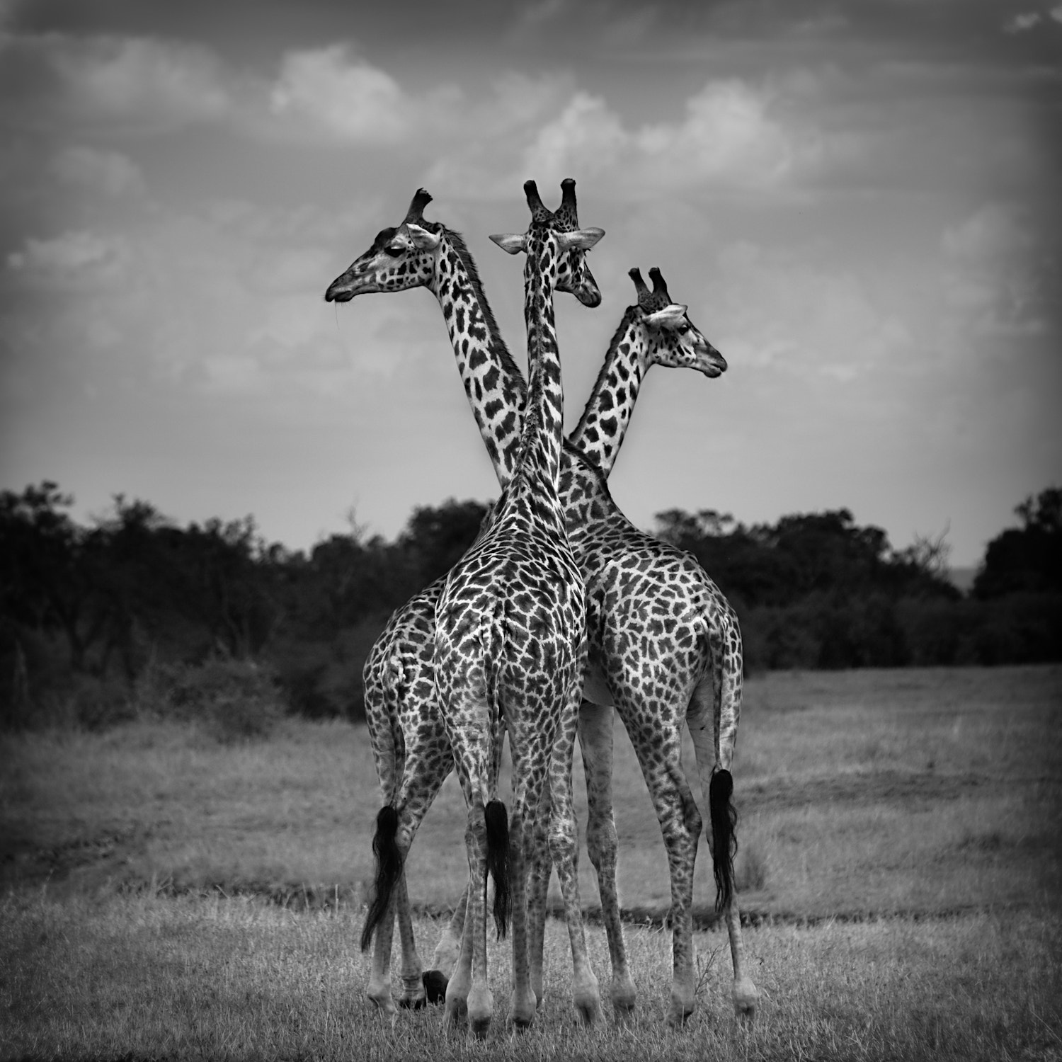 Photograph Giraffe Trio by Urszula Kozak on 500px