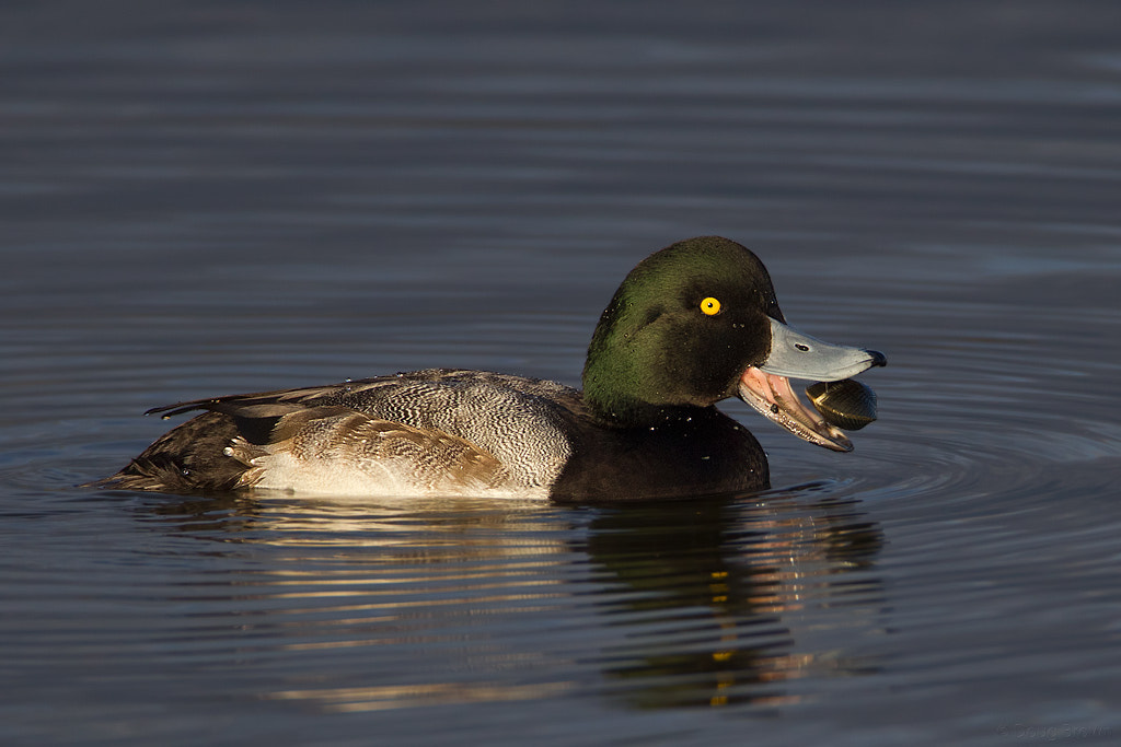 Photograph Greater Scaup by Doug Brown on 500px
