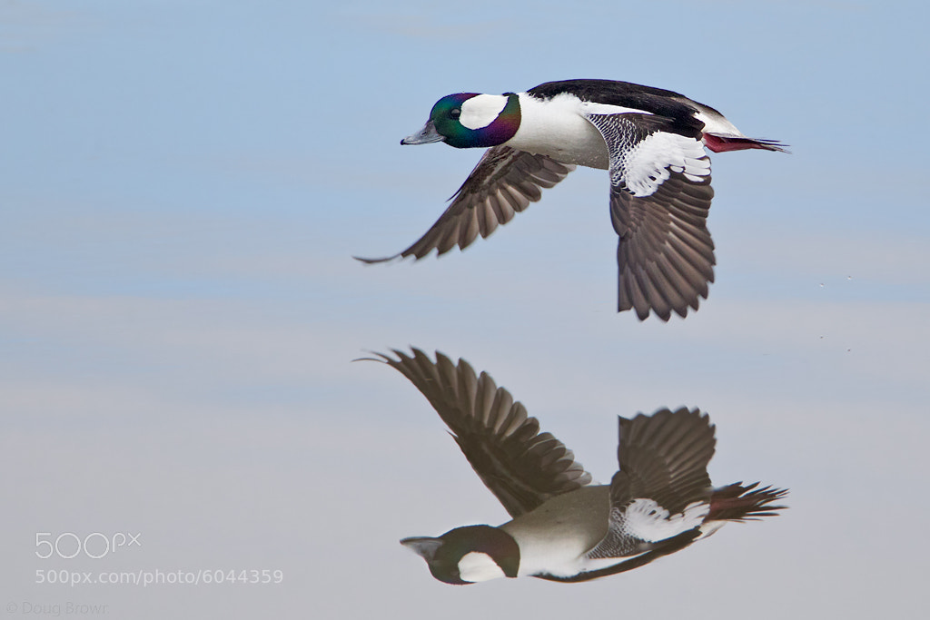 Photograph Bufflehead by Doug Brown on 500px