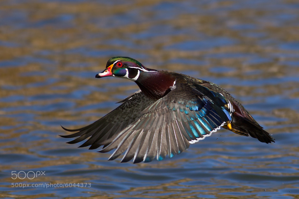 Photograph Wood Duck by Doug Brown on 500px