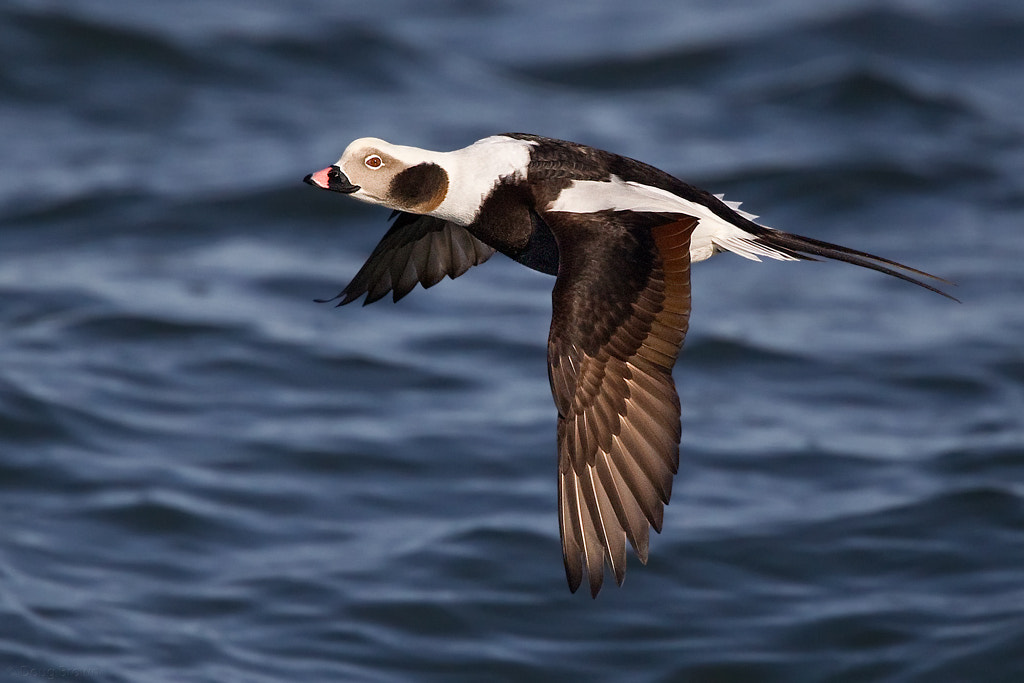 Photograph Long-tailed Duck by Doug Brown on 500px