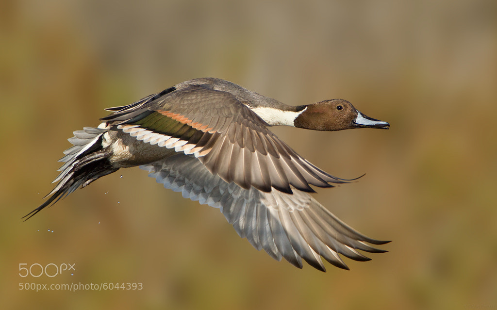 Photograph Northern Pintail by Doug Brown on 500px