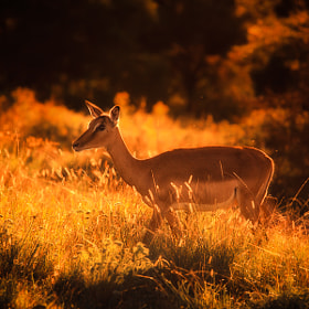 Impala in Gold by Mario Moreno (mariomoreno)) on 500px.com