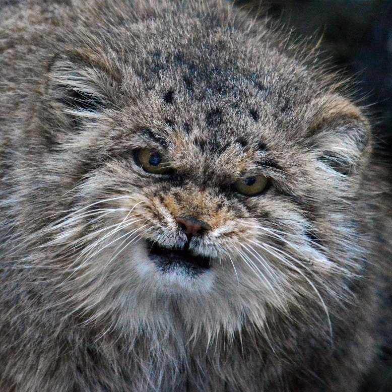 Angry Manul by Bee Kay on 500px.com