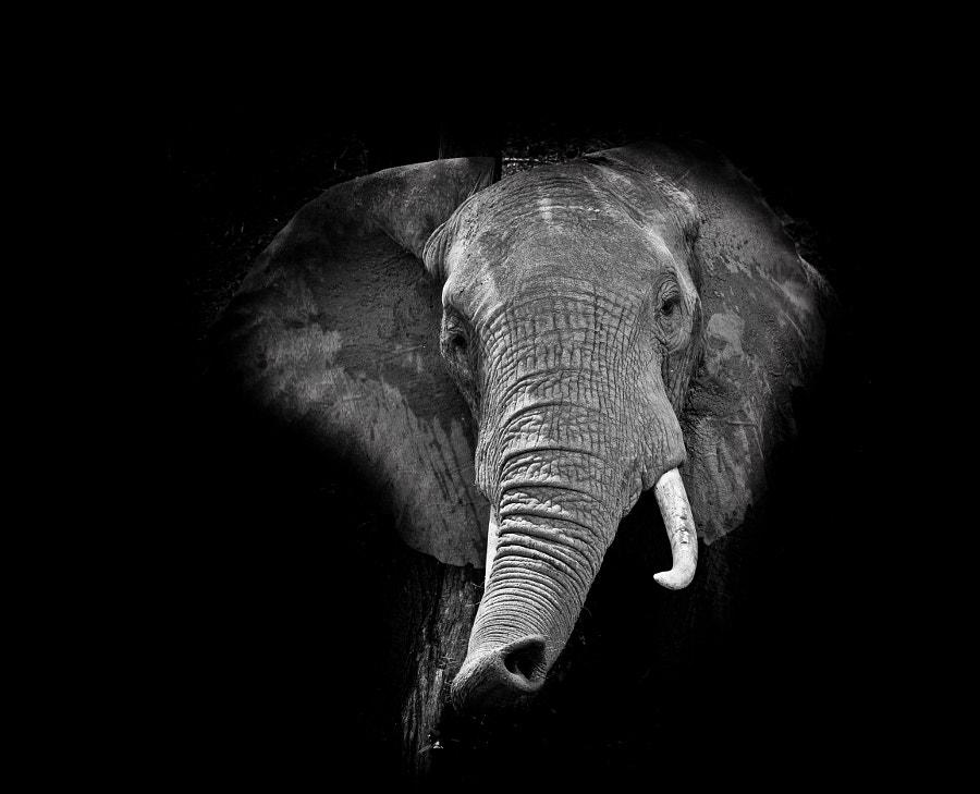 Elephant trumpet
