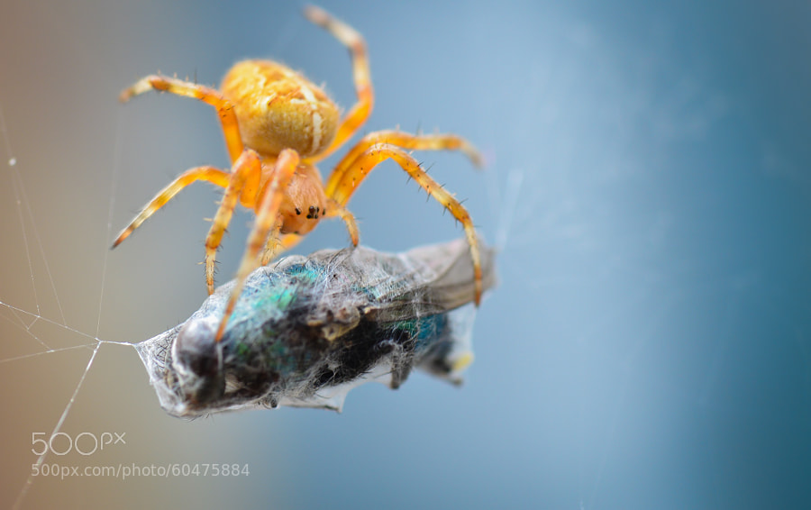 The amazing Spiderman VS The Fly ! by Thibaut ANDRE on 500px.com
