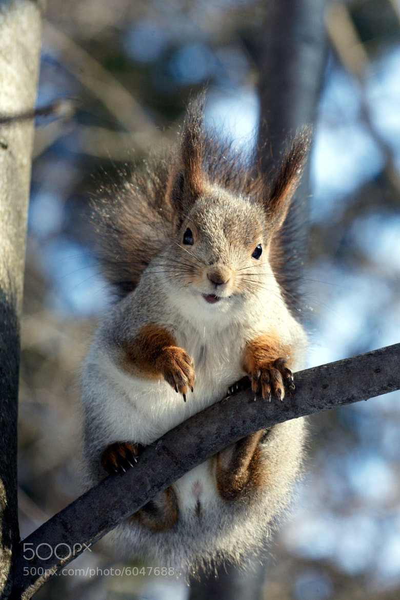 Photograph A squirrel by Gleb Skrebets on 500px