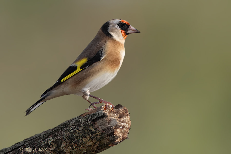 Photograph European Goldfinch by Roy Churchill on 500px