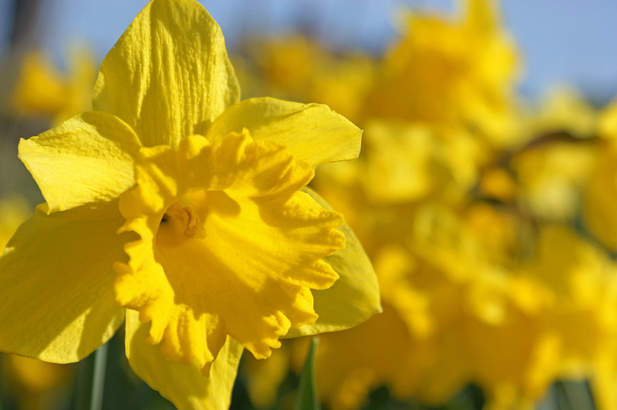 Daffodils by Steve Wallace on 500px.com