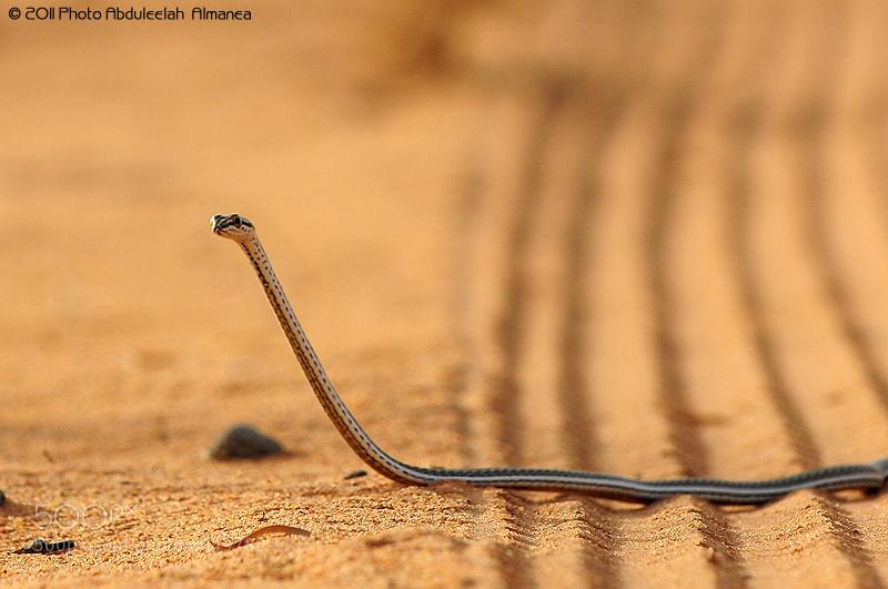 Photograph Snake by Abduleelah Al-manea on 500px