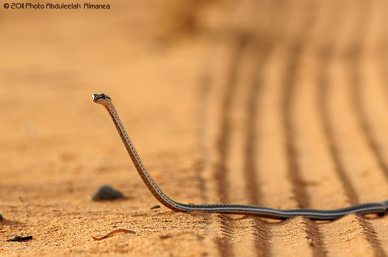 Photograph Snake by Abduleelah Al-manea on 500px