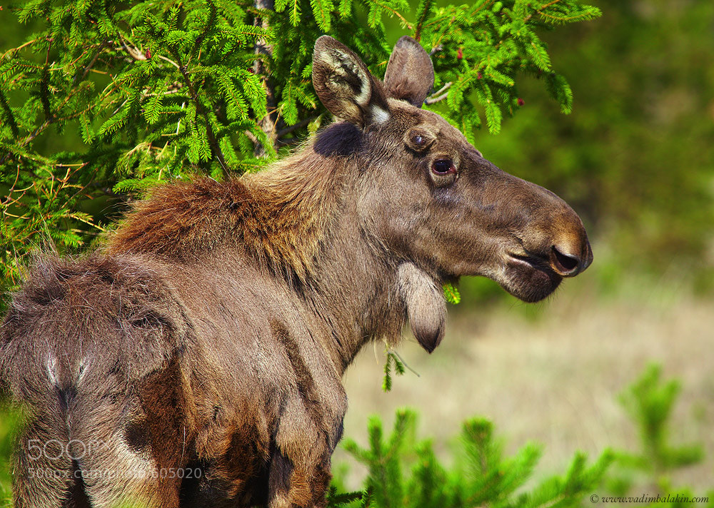 Photograph Young moose by Vadim Balakin on 500px