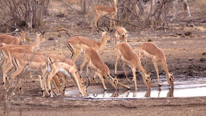 Photograph Impala at water by Vittorio D'Apice on 500px