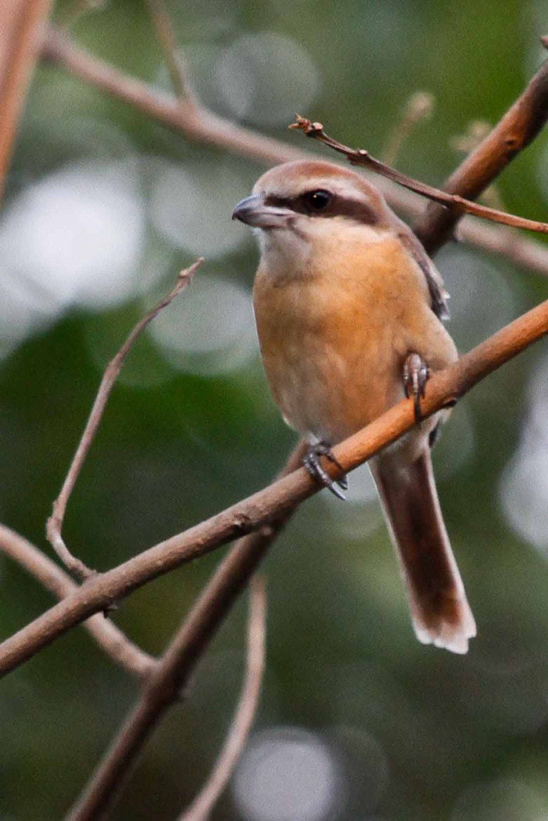 Photograph Brown Shrike (Lanius cristatus) by Sharif Mustaque on 500px