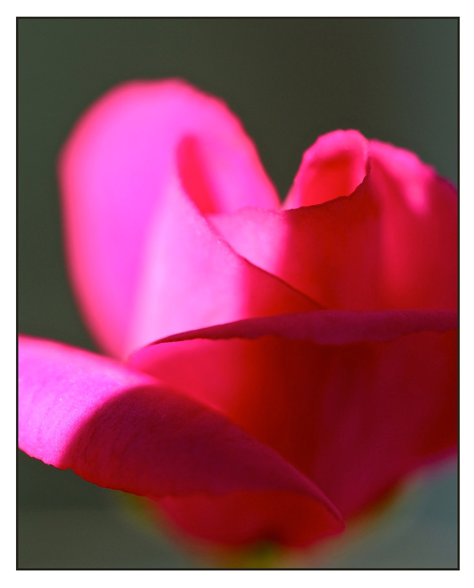 Photograph Rose by elmaS mac. on 500px