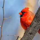 ������, ������: Male Cardinal in the Woods