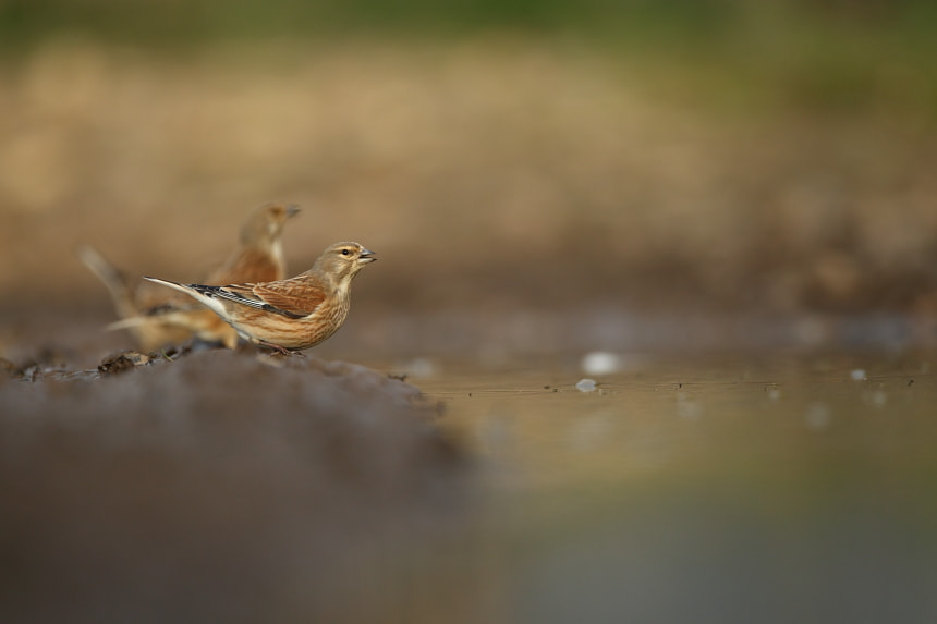 Photograph Linnets at the bar by Luke Massey on 500px