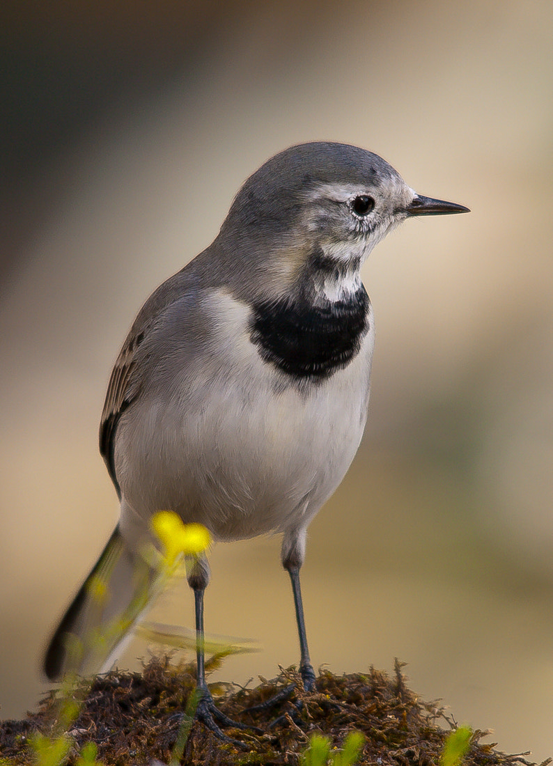 Photograph Wagtail by Fred Bejins on 500px