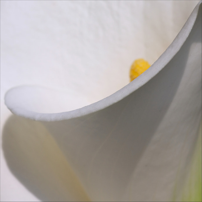 Photograph calla lily, a study_2 by rita vita finzi on 500px