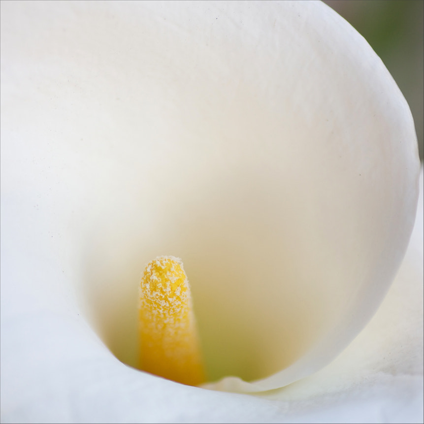 Photograph calla lily, a study_1 by rita vita finzi on 500px