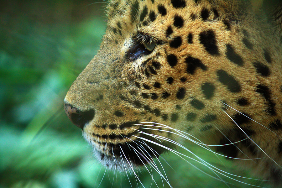 Leopard Profile by Shaoli Das on 500px.com