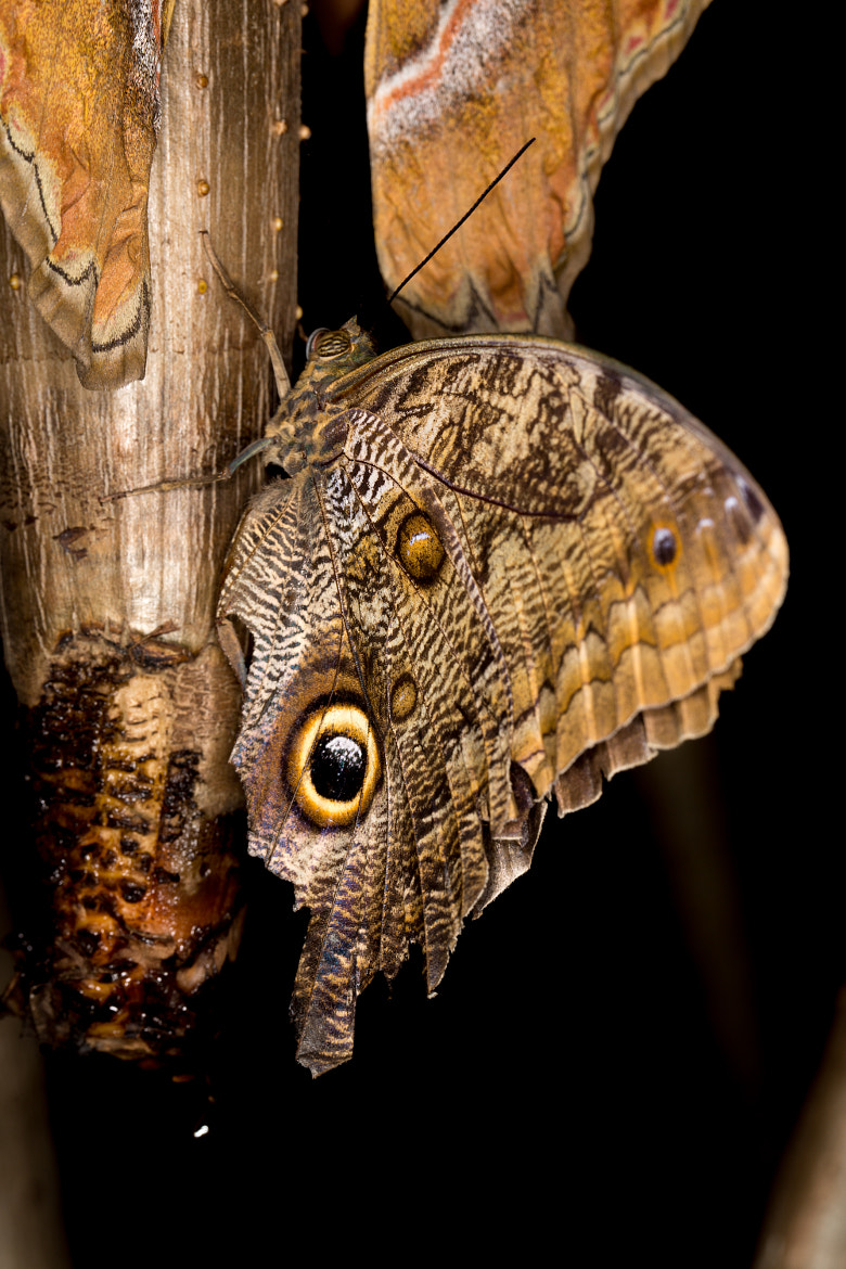 Photograph Owl Butterfly 2 by Paul Komarek on 500px