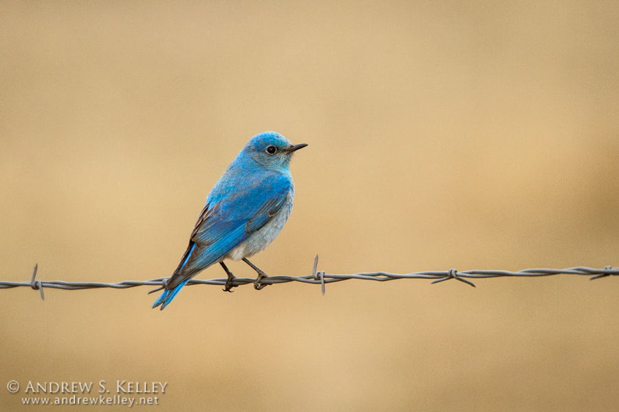 Photograph Mountain Bluebird by Andrew Kelley on 500px
