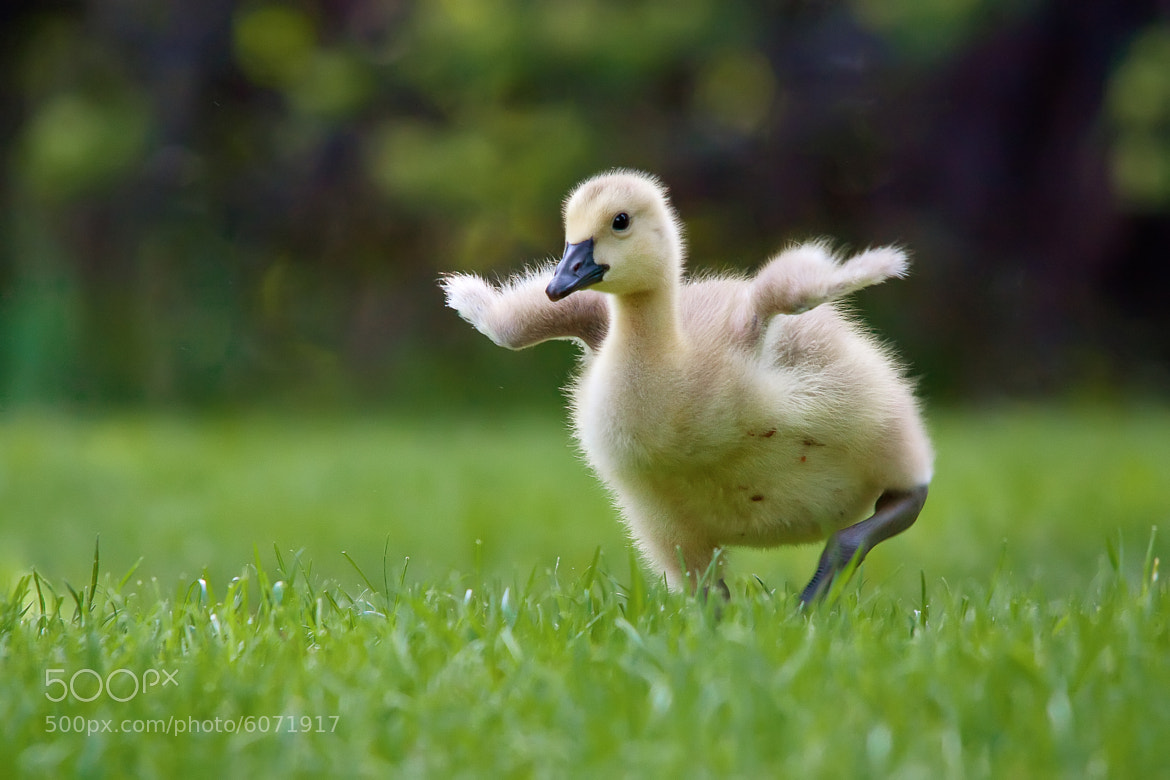Photograph Canada Gosling by Raymond Lee on 500px