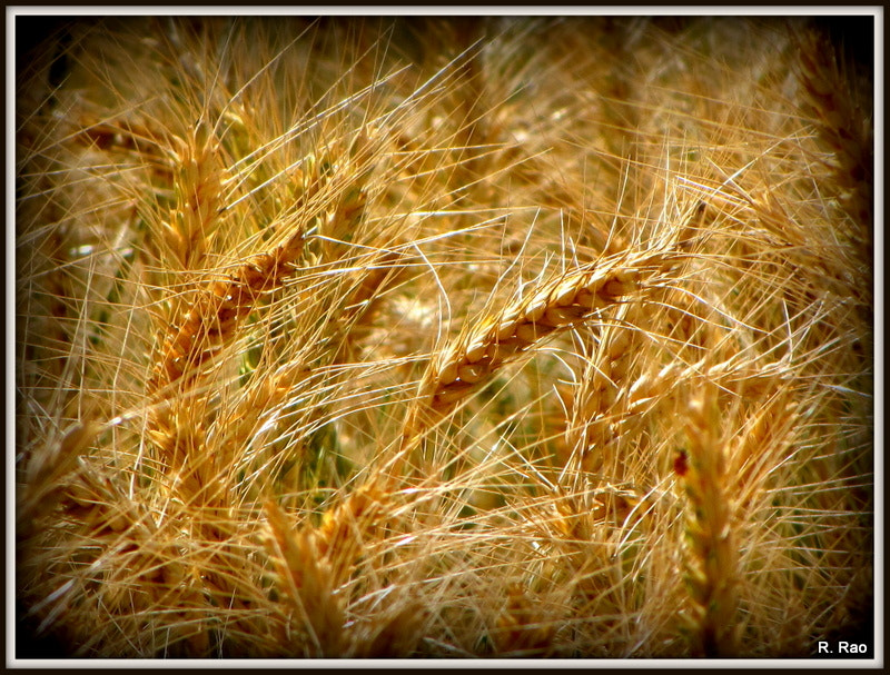 Photograph Harvest Time by Rohn Rao on 500px
