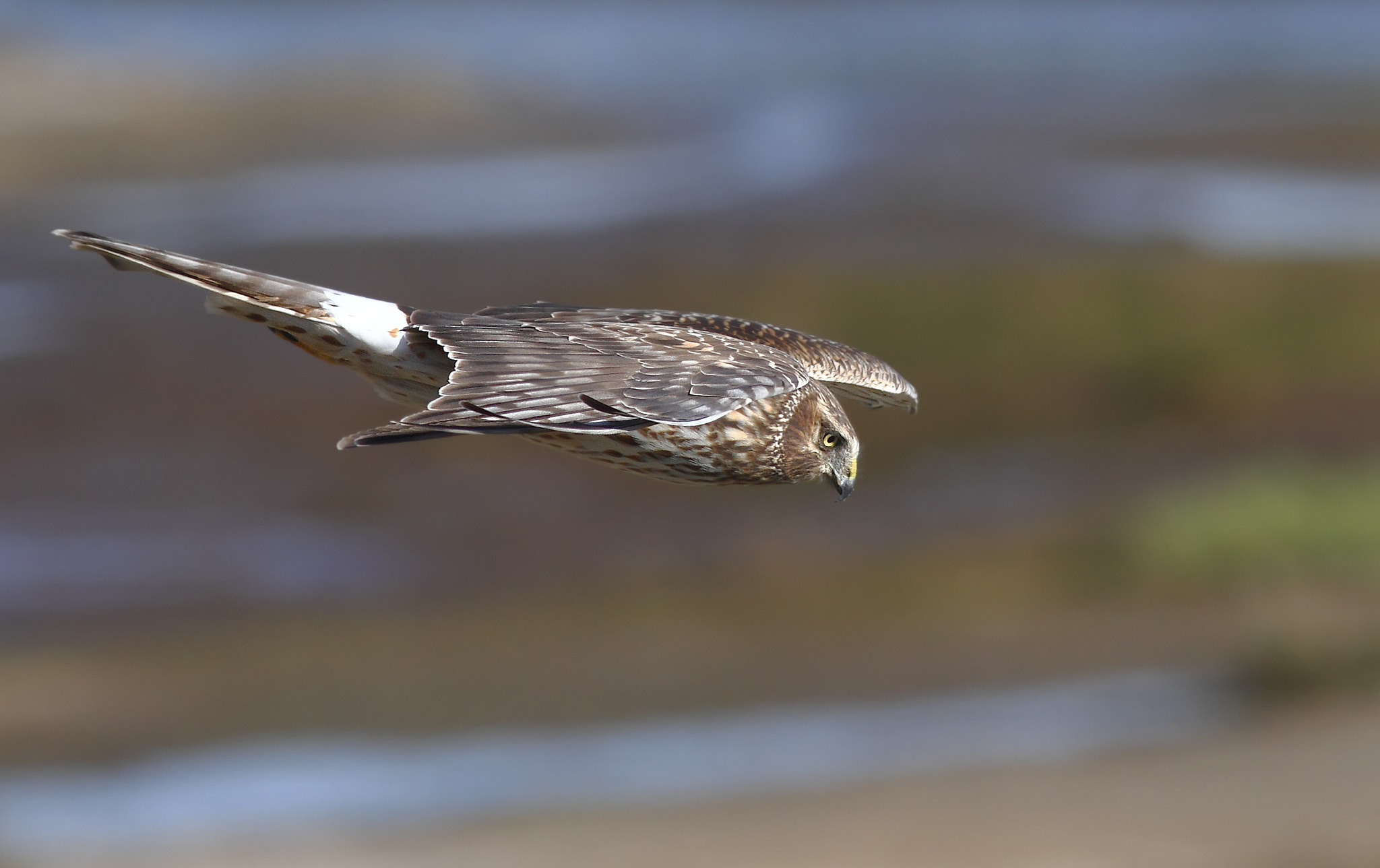 Photograph Northern Harrier Hawk by Salah Baazizi on 500px