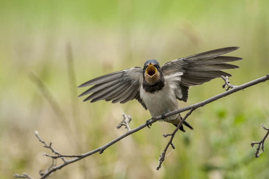 swallow by Riccardo Trevisani on 500px.com
