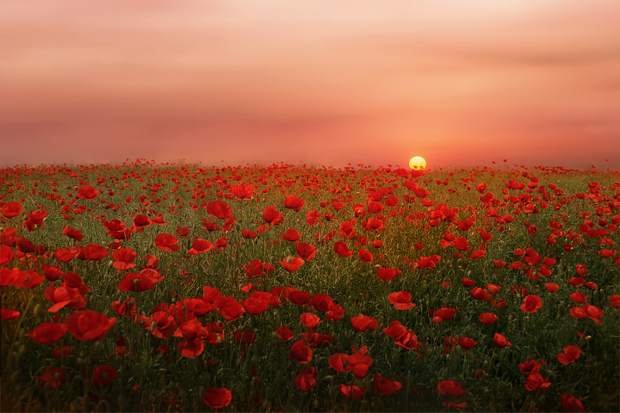 Poppies at Sunset by Albena Markova on 500px.com