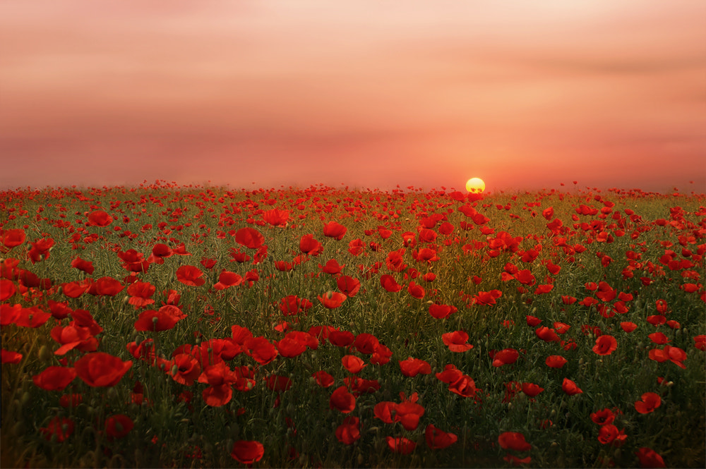 Photograph Poppies at Sunset by Albena Markova on 500px
