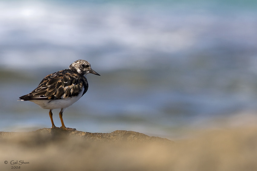 Photograph Ruddy Turnstone by Gal Shon on 500px