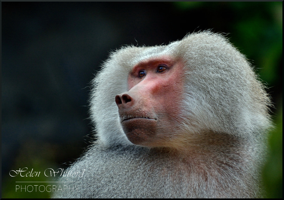 Photograph Baboon Portrait 2 by Helen Whitford on 500px