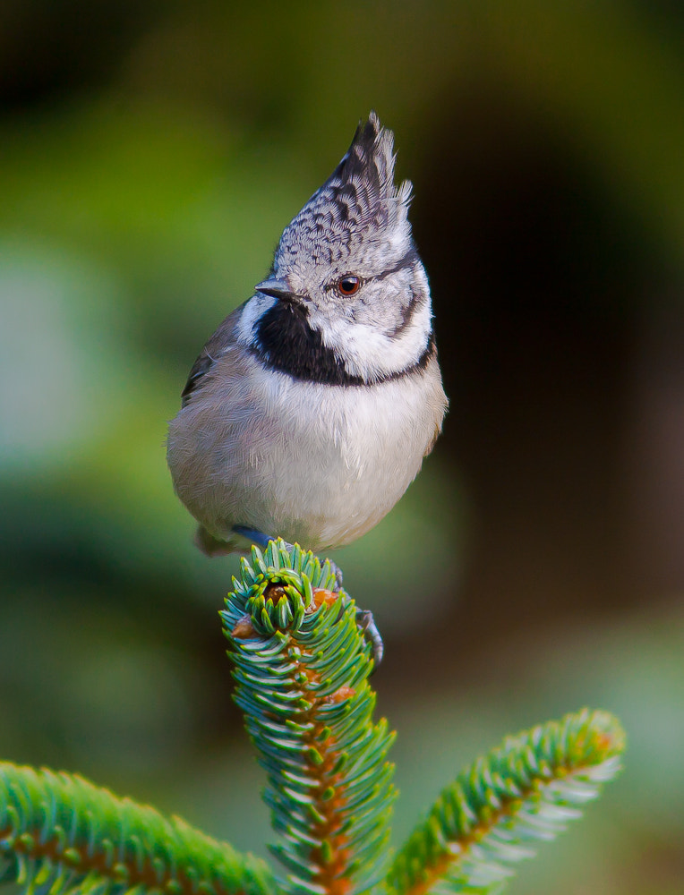 Photograph Crested  Tit by Geir  Jensen on 500px