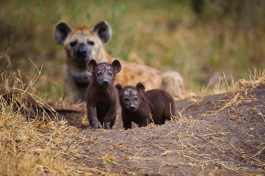 Photograph Hyena Pups by David Lloyd on 500px