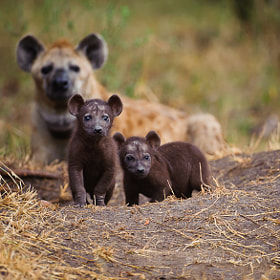 Hyena Pups by David Lloyd (davidlloyd)) on 500px.com