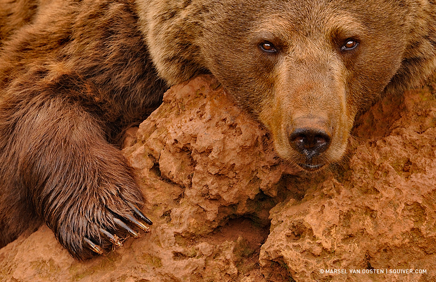 Red Brown Bear by Marsel van Oosten on 500px