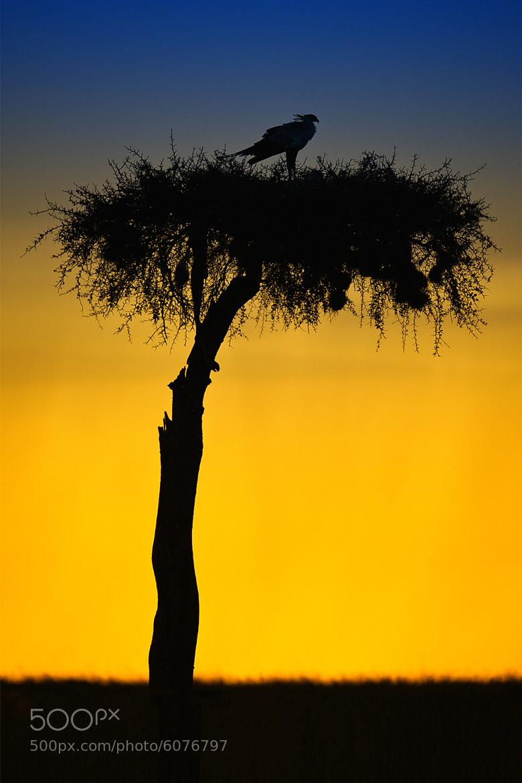 Photograph Secretary bird silhouette sunset by Marc MOL on 500px
